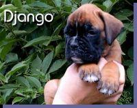 Django von der Siegperle Wurftag: 25.06.2004 Zuchtbuchnummer: 223996