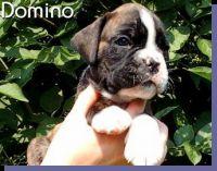Domino von der Siegperle Wurftag: 25.06.2004 Zuchtbuchnummer: 223997