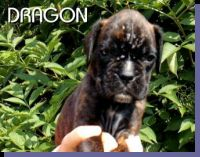 Dragon von der Siegperle Wurftag: 25.06.2004 Zuchtbuchnummer: 223998