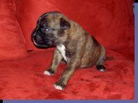 Giacomo von der Siegperle Wurftag: 04.12.2007 Zuchtbuchnummer: 229871